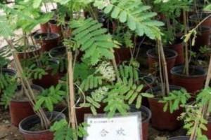 合欢树的扦插繁殖方法?