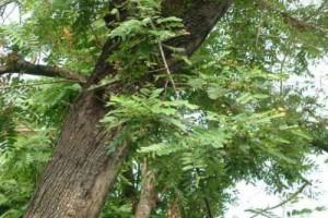 鸡翅木是什么树的木头?