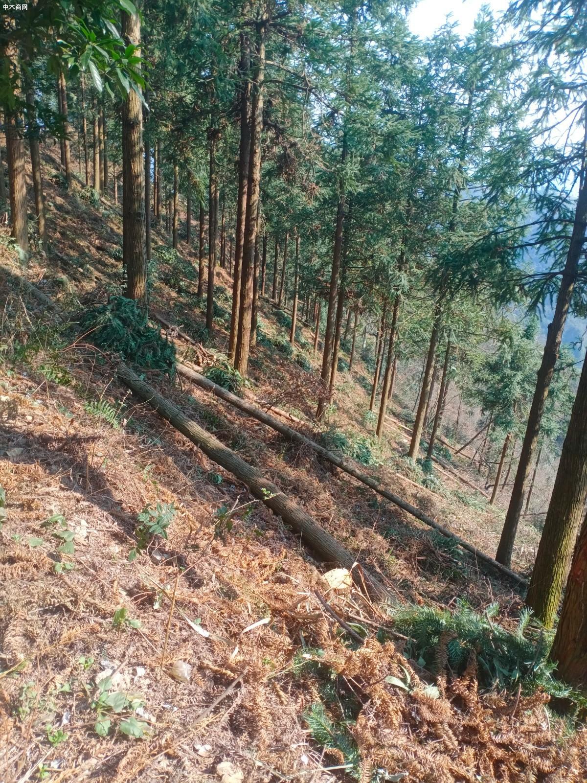 杉木原木原产地直销图片