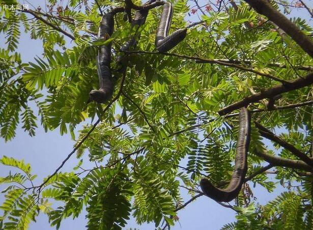 鸡翅木是什么树的木头