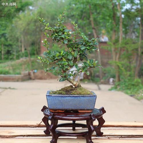 清香木盆景的制作和养护方法图片