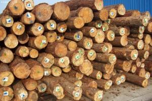 澳洲松木空缺市场很可能被其他针叶材取代