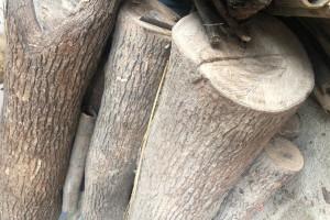 30多年的香樟木原木出售