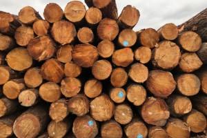 澳洲松木价格走势_2021年2月6日