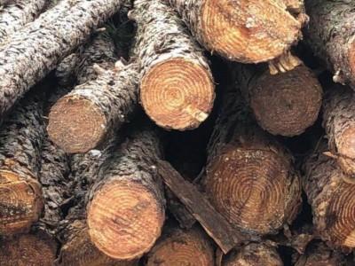 长年提供油松原木木材