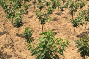 樱桃树苗的种植技术要点?