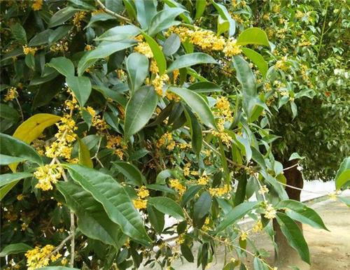 桂花苗木的培养繁殖和防治方法