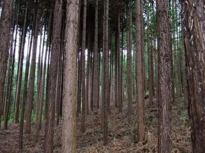 优质杉木原木批发