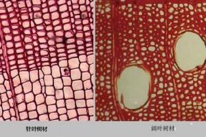 针叶树材和阔叶树材宏观构造的不同?