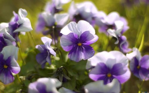 紫罗兰的功效与作用和养殖方法品牌