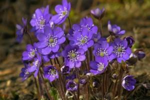 紫罗兰的功效与作用和养殖方法?