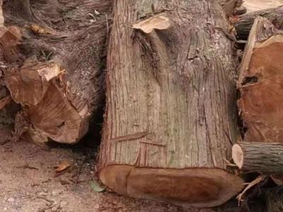 湖北宜昌大量油柏木原木厂家批发价格