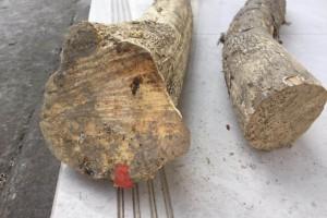 小叶高山黄杨木原木用于根雕和摆件