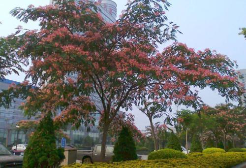 合欢树的生长特性及药用功效图片
