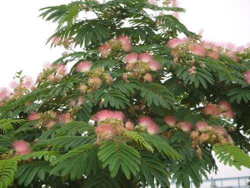 合欢树的生长特性及药用功效价格
