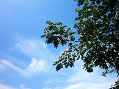 合欢树的生长特性及药用功效品牌
