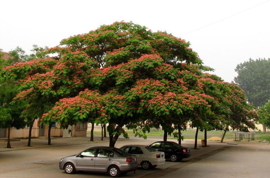 合欢树的生长特性及药用功效