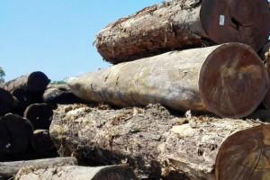 南美铁木豆入市主要港口为中山港
