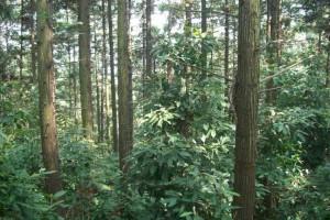 我国杉木人工林面积达到1.48亿亩
