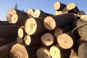 欧洲白蜡木原木源头采购量价不稳定