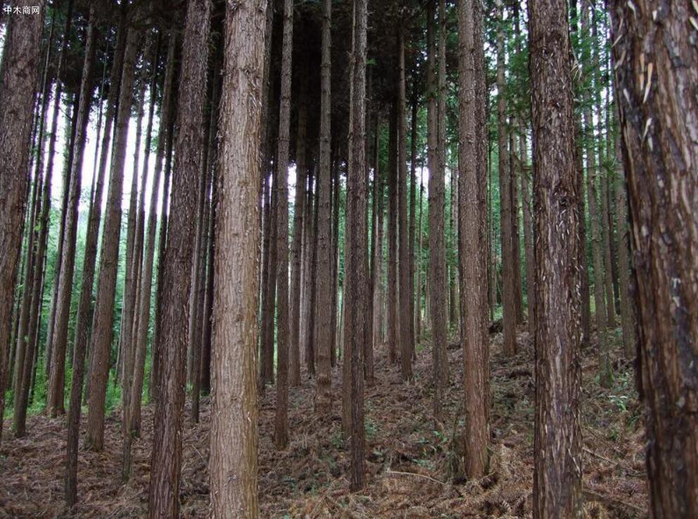 长期求购杉树原木