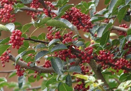 花椒树适合什么地方种植以及花椒树如何培育