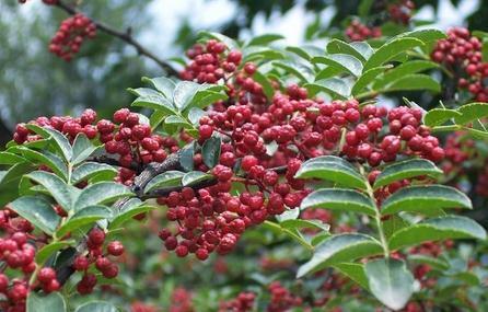 花椒树适合什么地方种植以及花椒树如何培育厂家