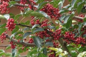 花椒树适合什么地方种植以及花椒树如何培育?