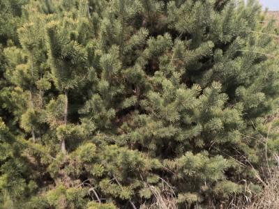 直径5至10公分树苗当杂木处理