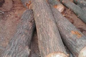 梓树原木价格多少钱一立方?