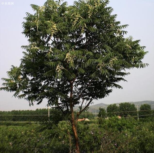 """农村常见的臭椿树被封为""""树王"""",臭椿树有何用途"""