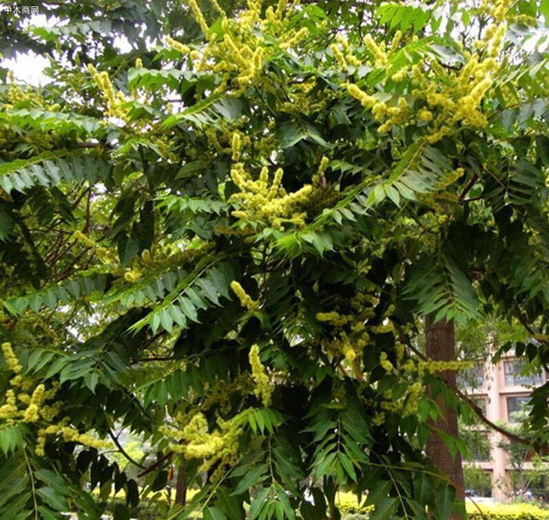 """农村常见的臭椿树被封为""""树王"""",臭椿树有何用途图片"""