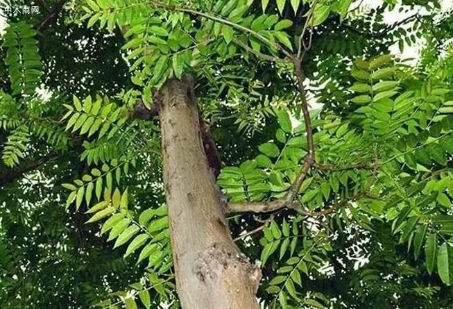 """农村常见的臭椿树被封为""""树王"""",臭椿树有何用途价格"""