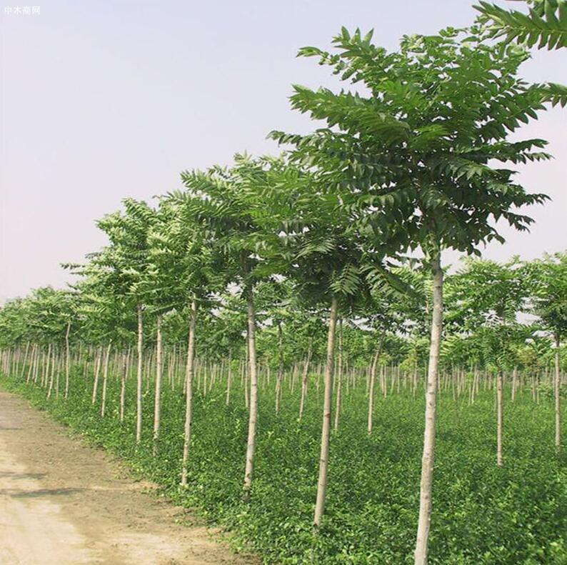 """农村常见的臭椿树被封为""""树王"""",臭椿树有何用途厂家"""