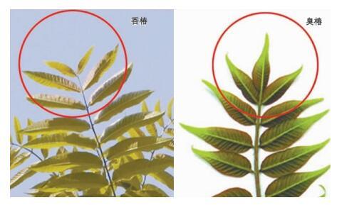 """农村常见的臭椿树被封为""""树王"""",臭椿树有何用途品牌"""