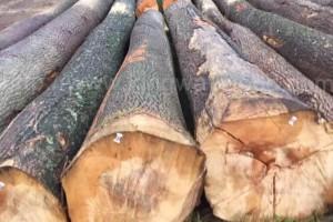欧洲白蜡木原木价格行情_2021年4月8日