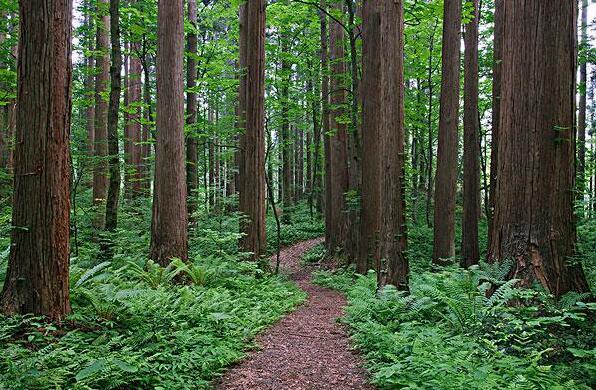 柳杉木材的优点及特点图片