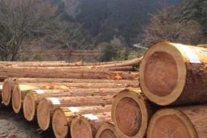 柳杉原木的优点及用途?