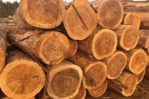 宜昌柳杉原木高清图片