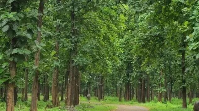 缅甸柚木是什么木材?为什么被誉为万木之王价格