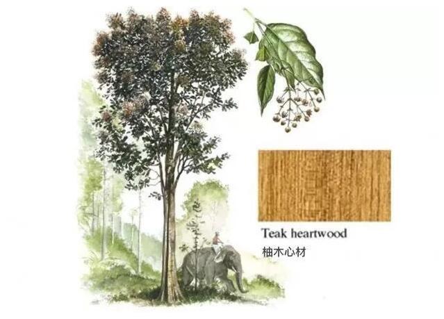 缅甸柚木是什么木材?为什么被誉为万木之王
