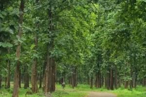 缅甸柚木是什么木材?为什么被誉为万木之王!