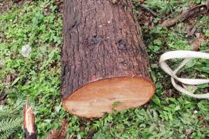 红椿木原木原产地直销