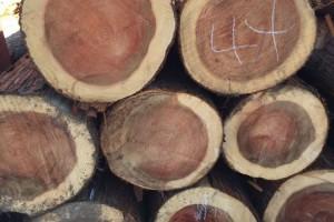日本一半以上的人工林已进入主伐期