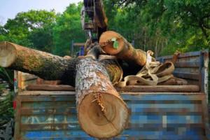 一男子因砍伐野生香樟树做家具被扣押