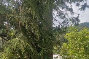 柳杉大径材出售