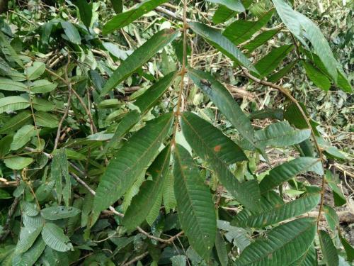 金丝楠木的生长习性和特点厂家