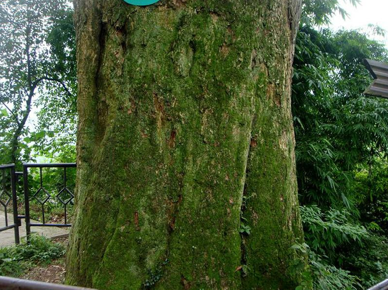 金丝楠木的生长习性和特点品牌