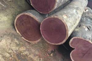 紫心木的主要价值和形态特征以及功效和作用?