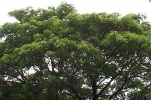 雨豆树的形态特征